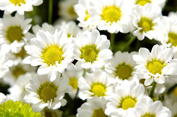 bunga chamomile warna putih