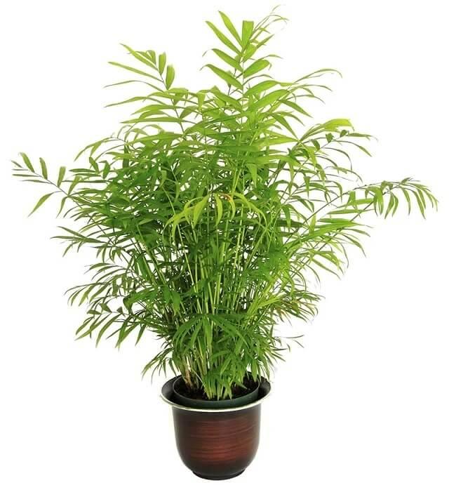 tanaman palem bambu