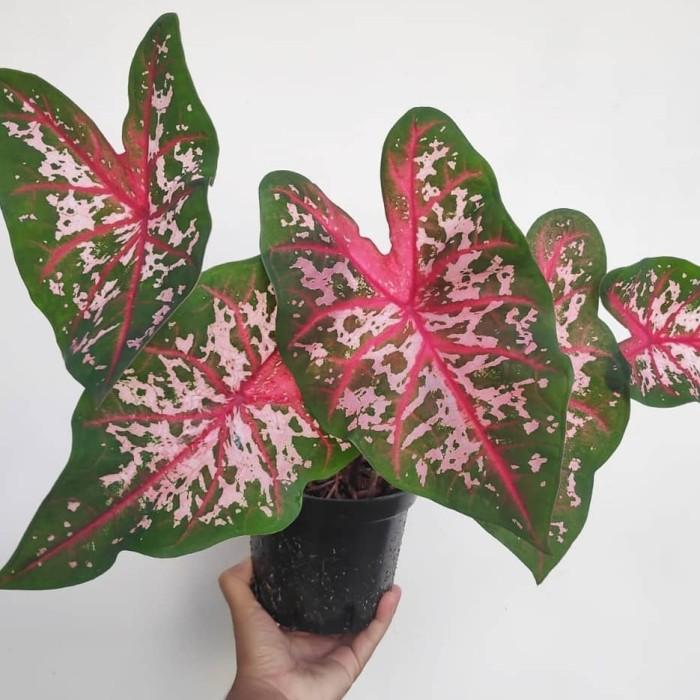 jenis tanaman hias Keladi carolyn whorton