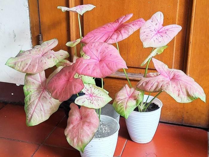 jenis tanaman hias Keladi lady pink