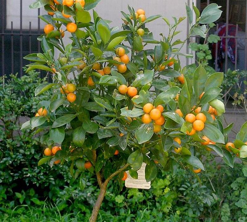 tanaman jeruk di halaman rumah
