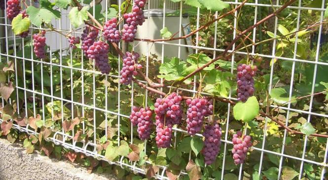 menanam anggur di halaman rumah
