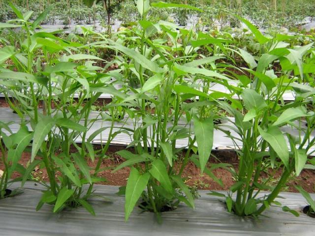cara menanam kangkung darat