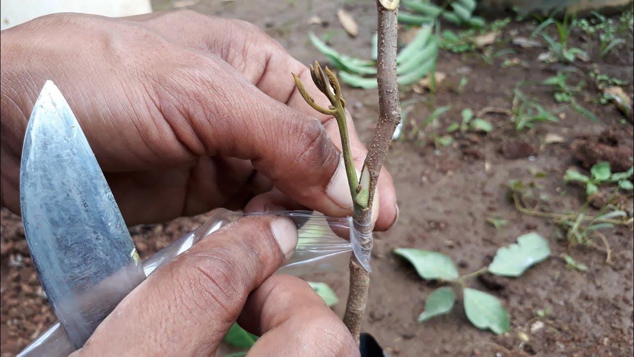 menanam buah kelengkeng metode stek