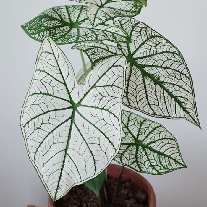 jenis tanaman hias keladi mery chrismast