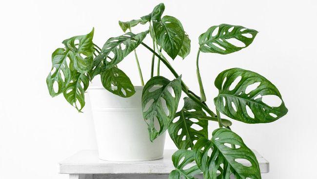 merawat tanaman hias indoor janda bolong