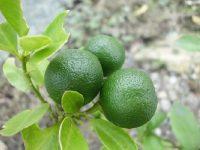 cara menanam jeruk nipis