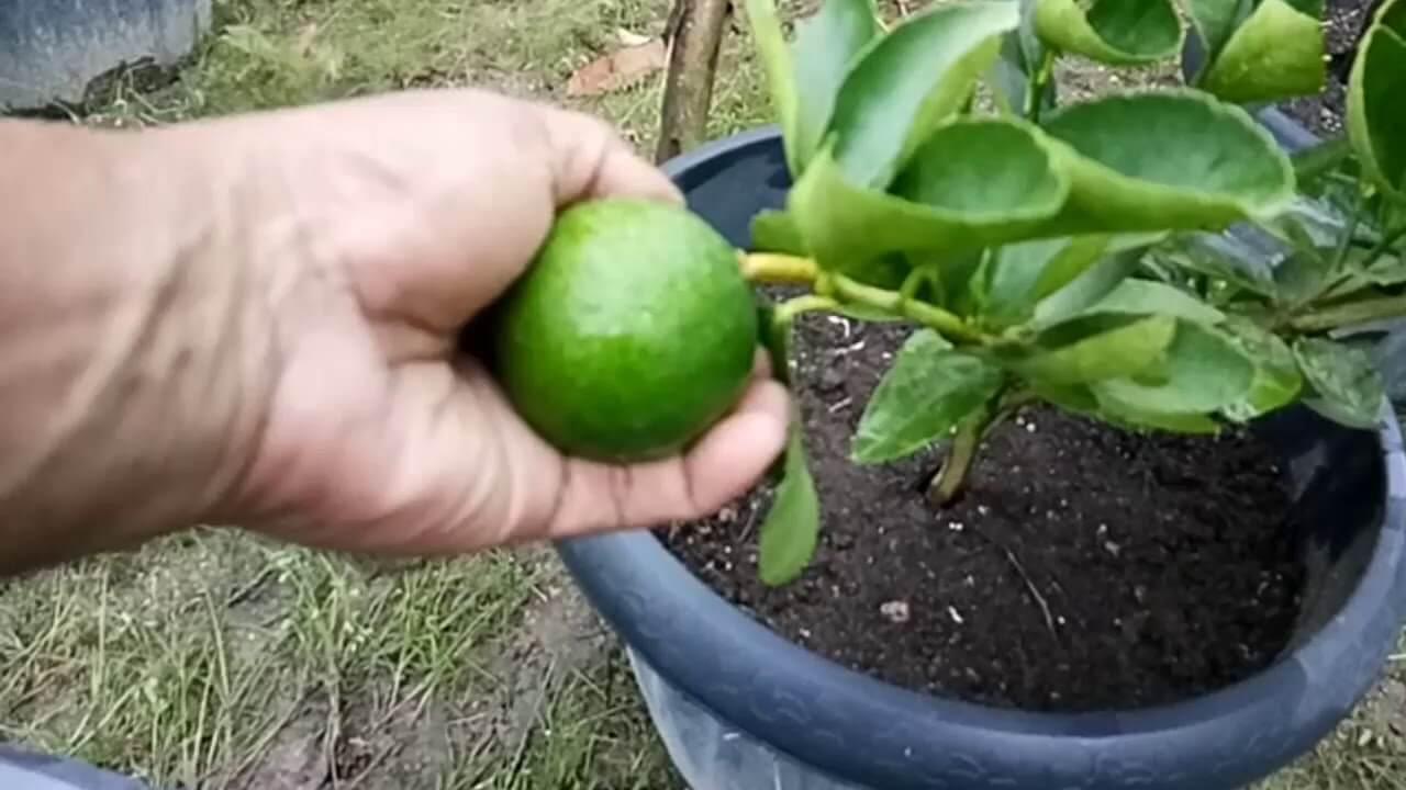 merawat jeruk nipis